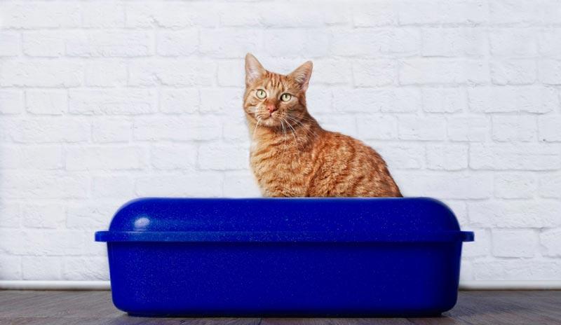 cat peeing litter tray