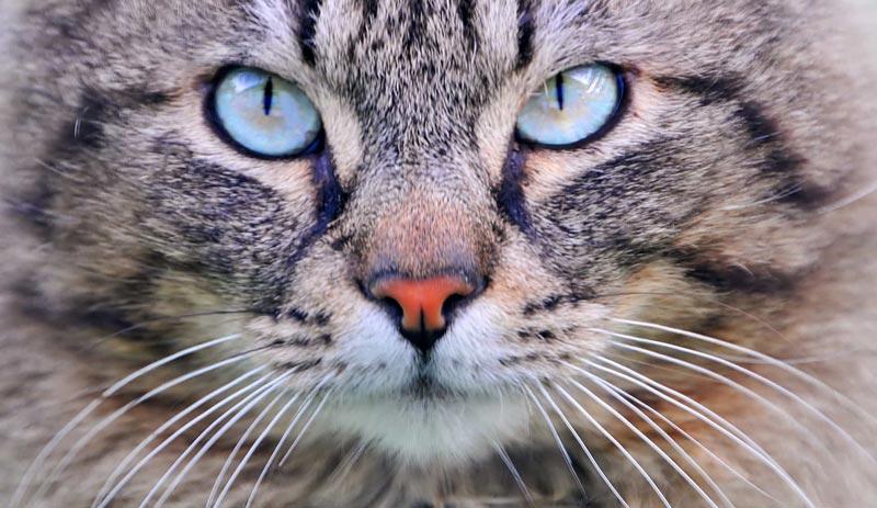 tabby cat zoomed in